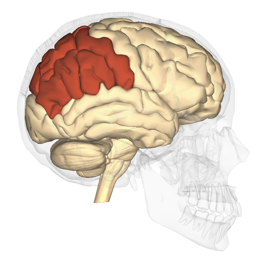 File:Parietal lobe - lateral view.png - Wikimedia Commons