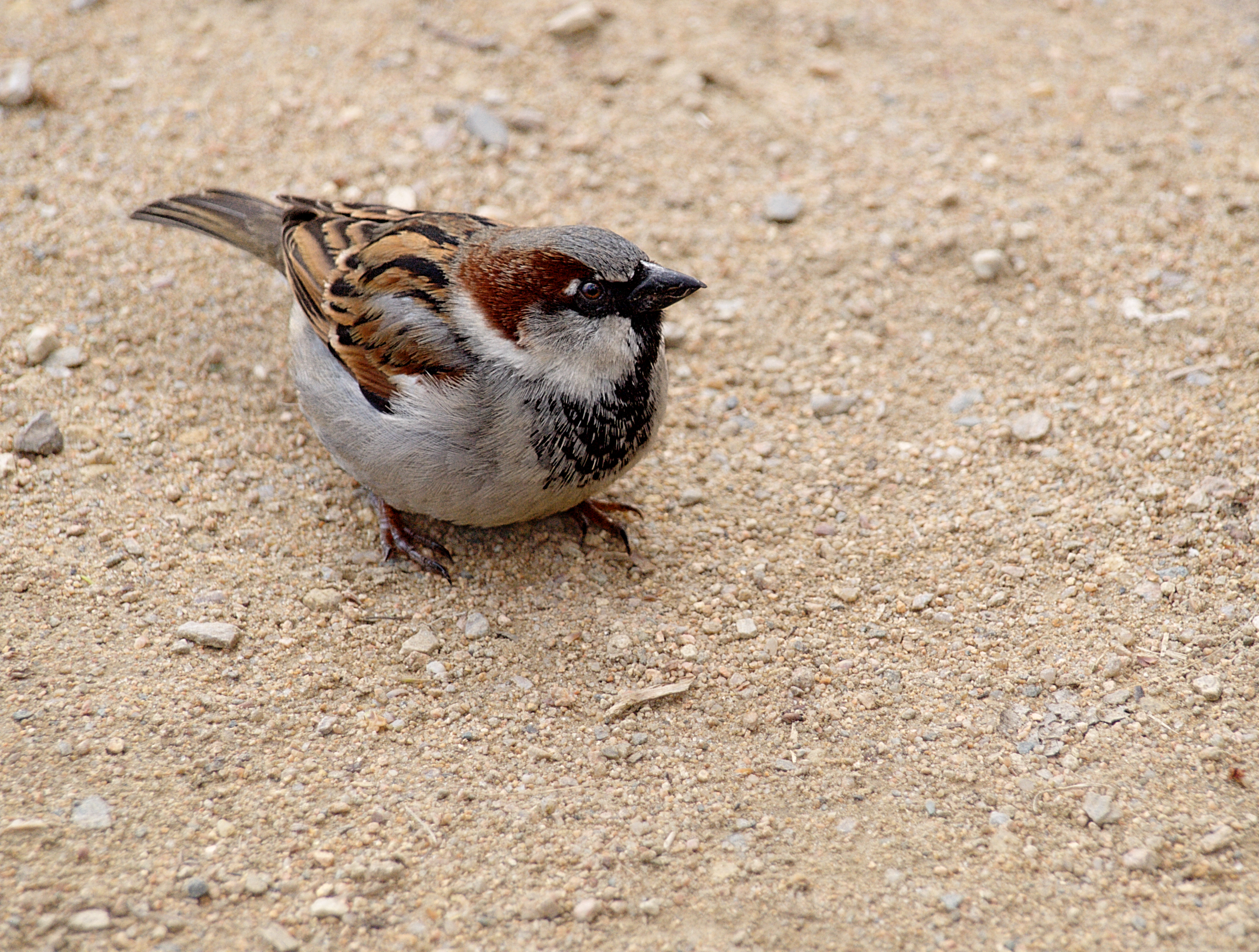 A very plump Sparrow (Passer domesticus) ♂ on Tiergartenufer Berlin-Tiergarten not far from the Berlin Zoo