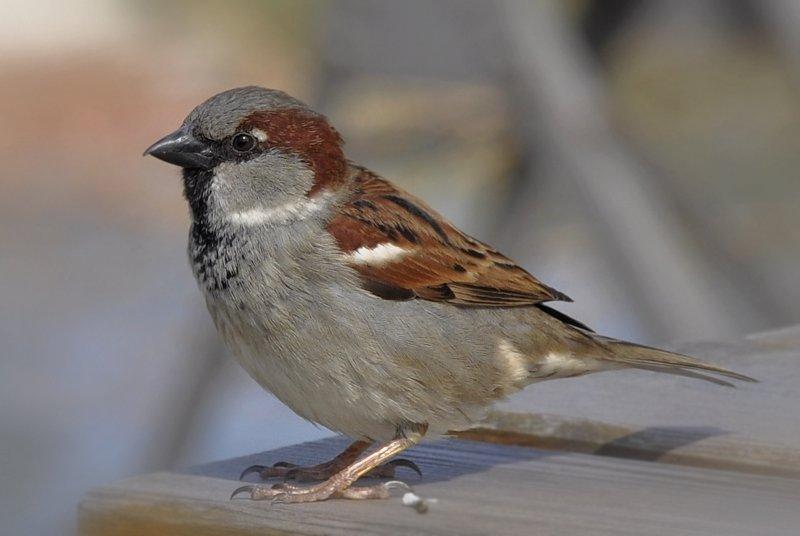 Samček vrabca