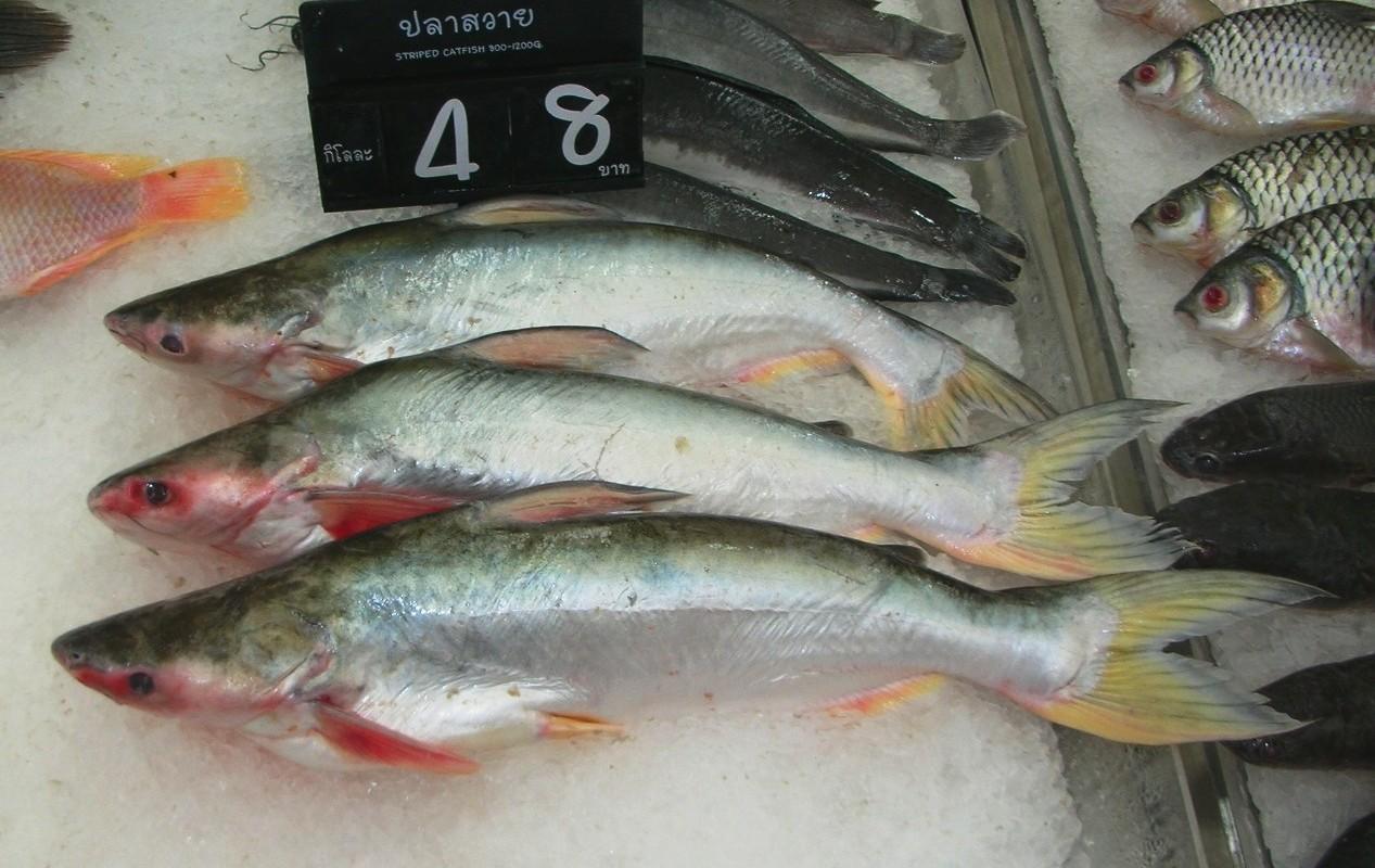 Pangasius pangasius wikiwand for Swai fish wiki