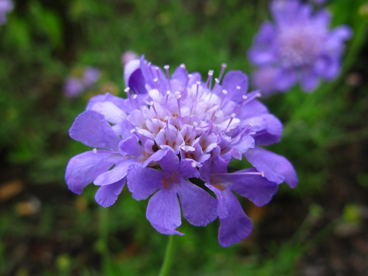 filepurple blue flower 1 forestwanderjpg