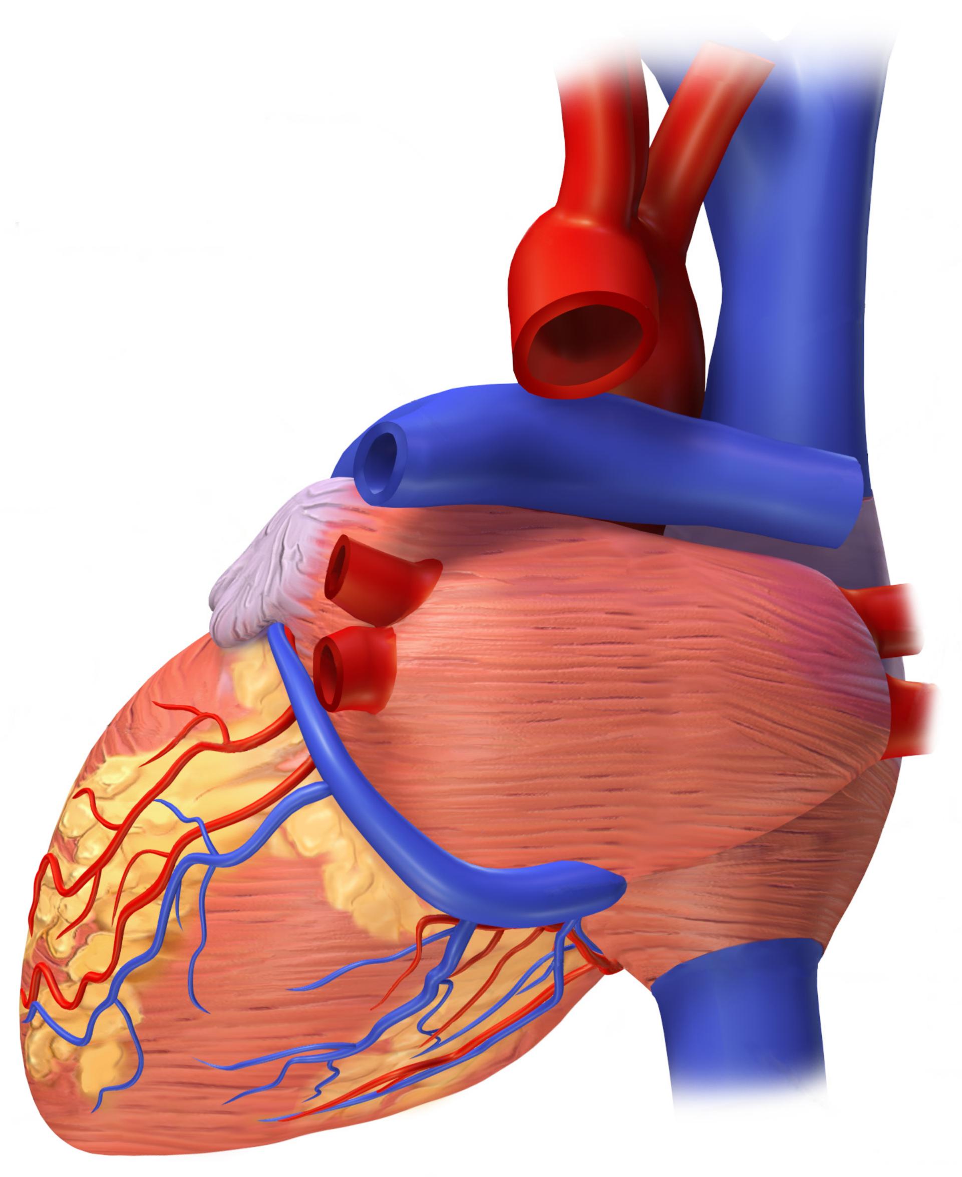 Filerear View Of A Human Heart Vista Posterior De Un Corazón
