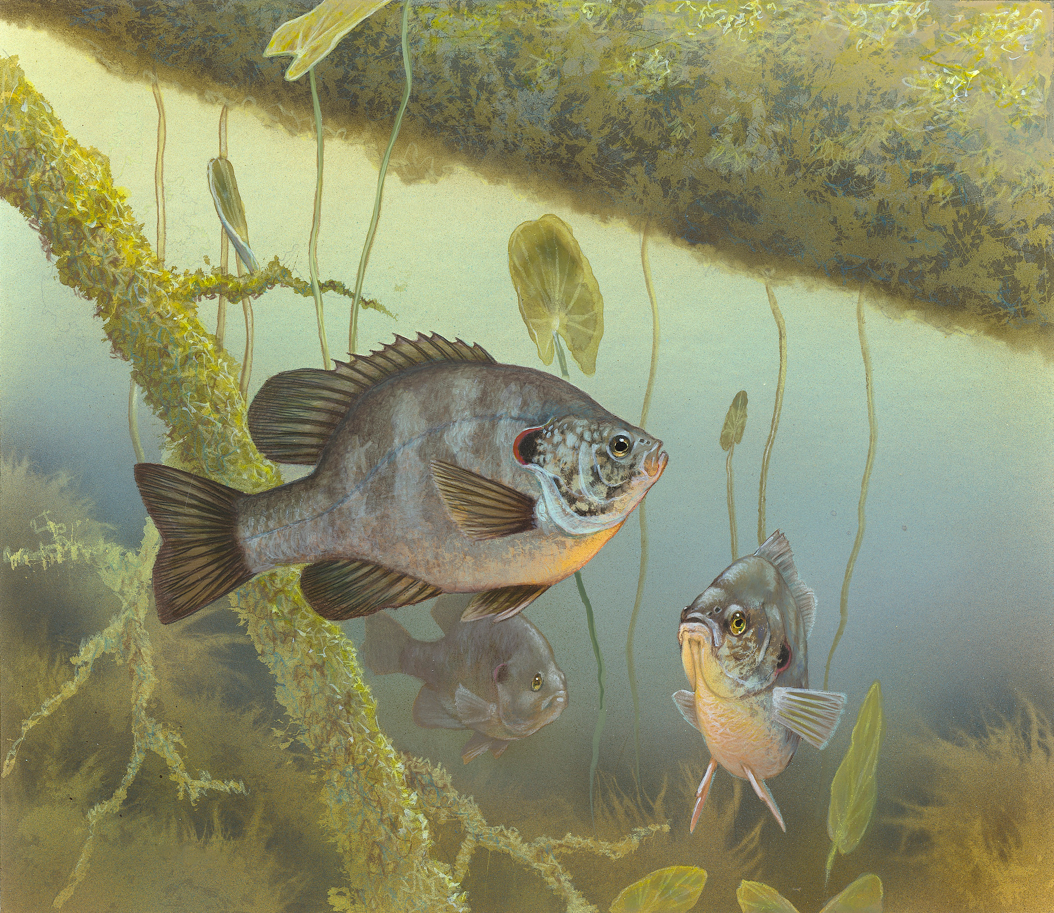 Redear sunfish prey on zebra mussels in the laboratory
