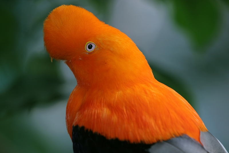 File:Rupicola peruviana (male) -upper body -San Diego Zoo