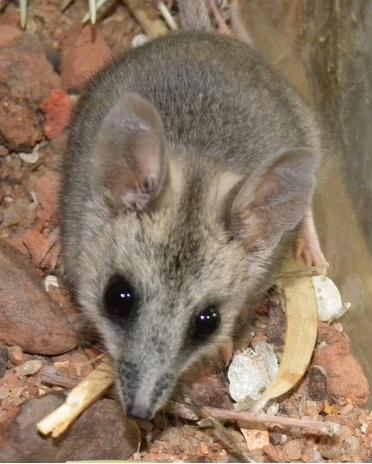 Depiction of Sminthopsis macroura
