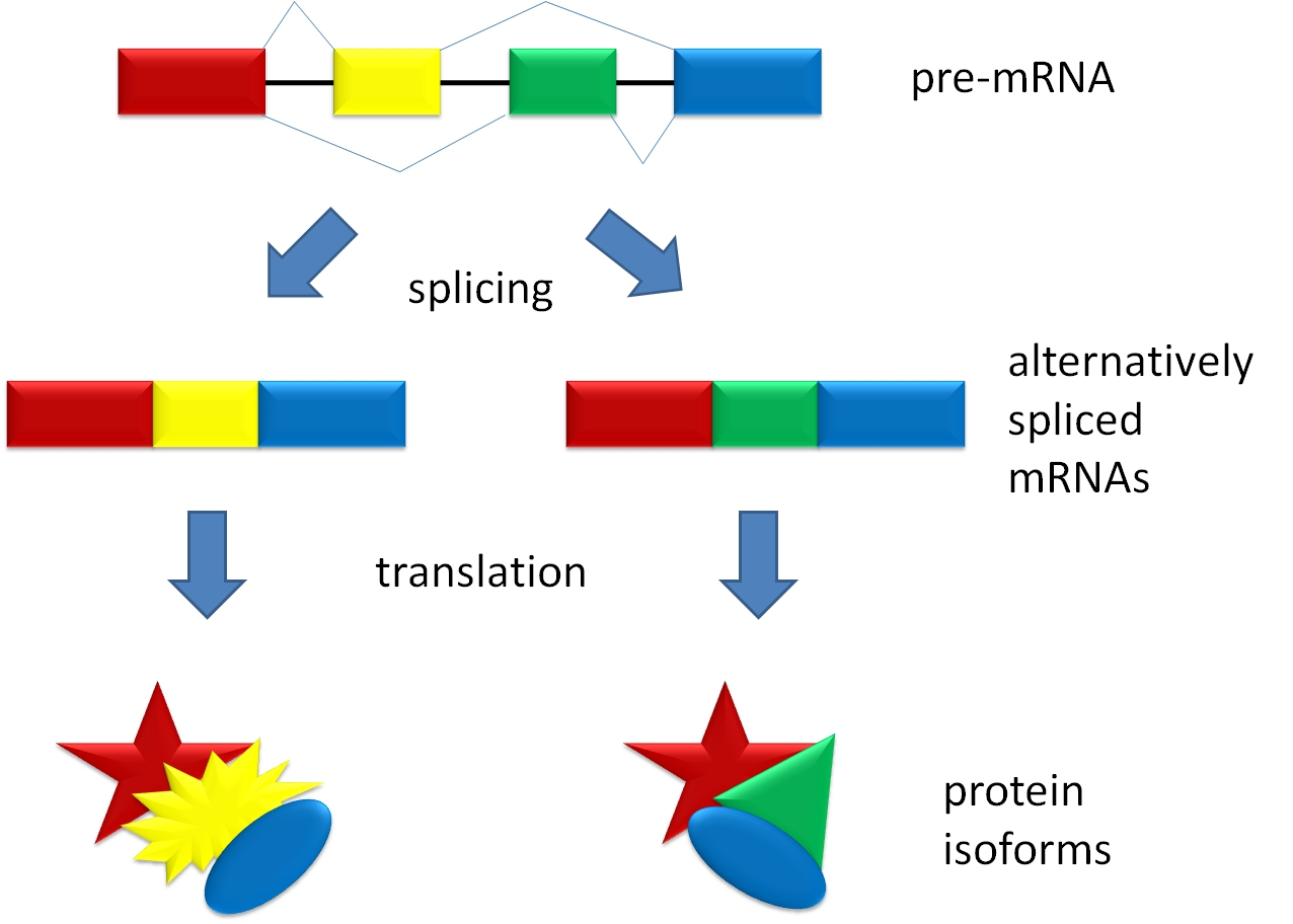Alternative splicing wikiwand ccuart Images