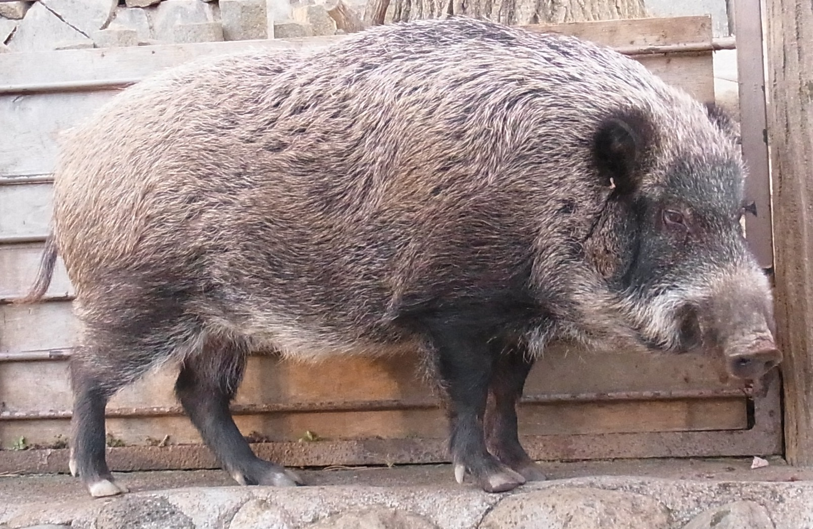 Japanese Boar Wikipedia
