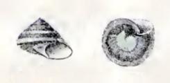 <i>Umbonium conicum</i> Species of gastropod