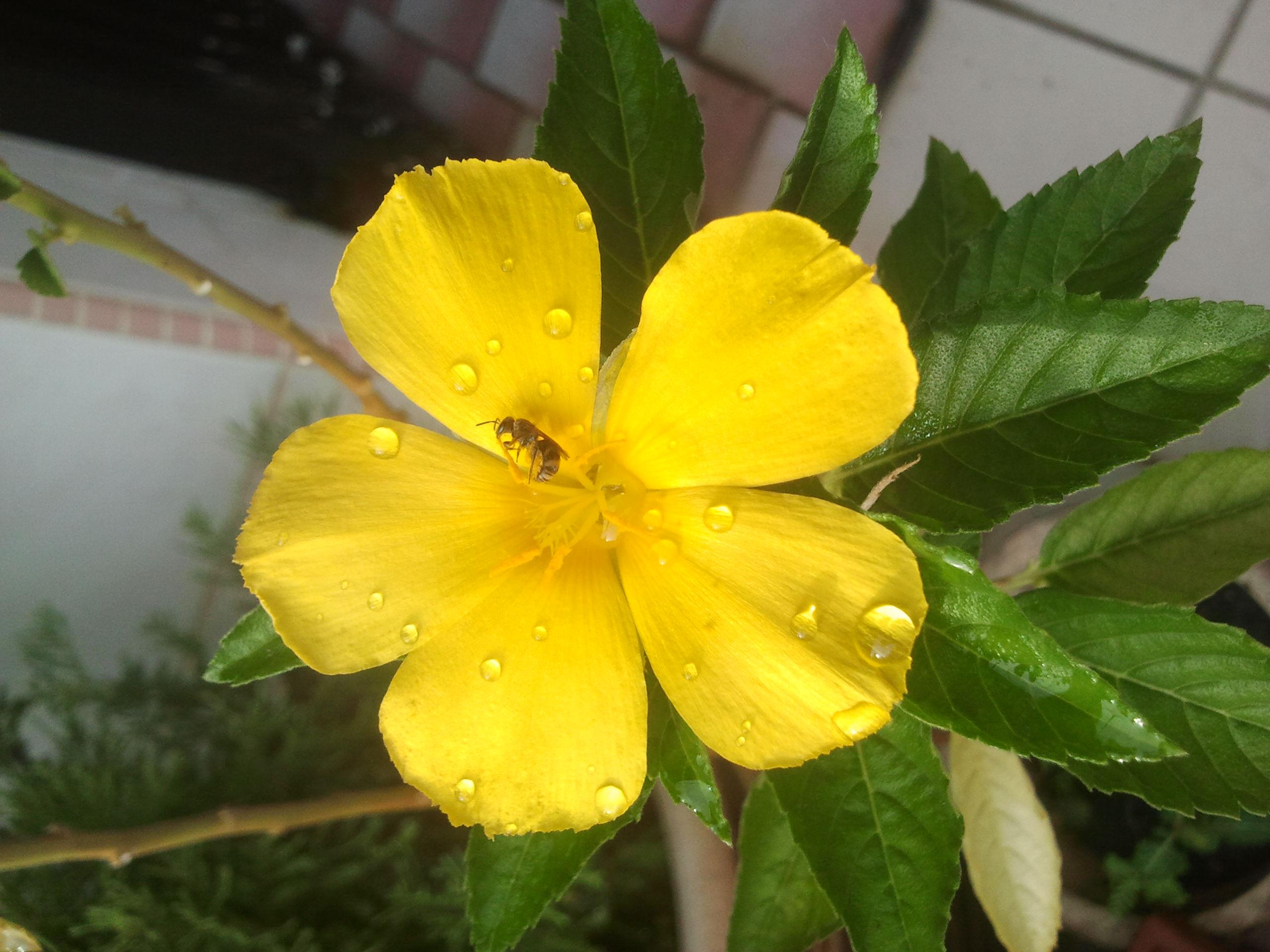 Fileyellow Primrose Flowerg Wikimedia Commons