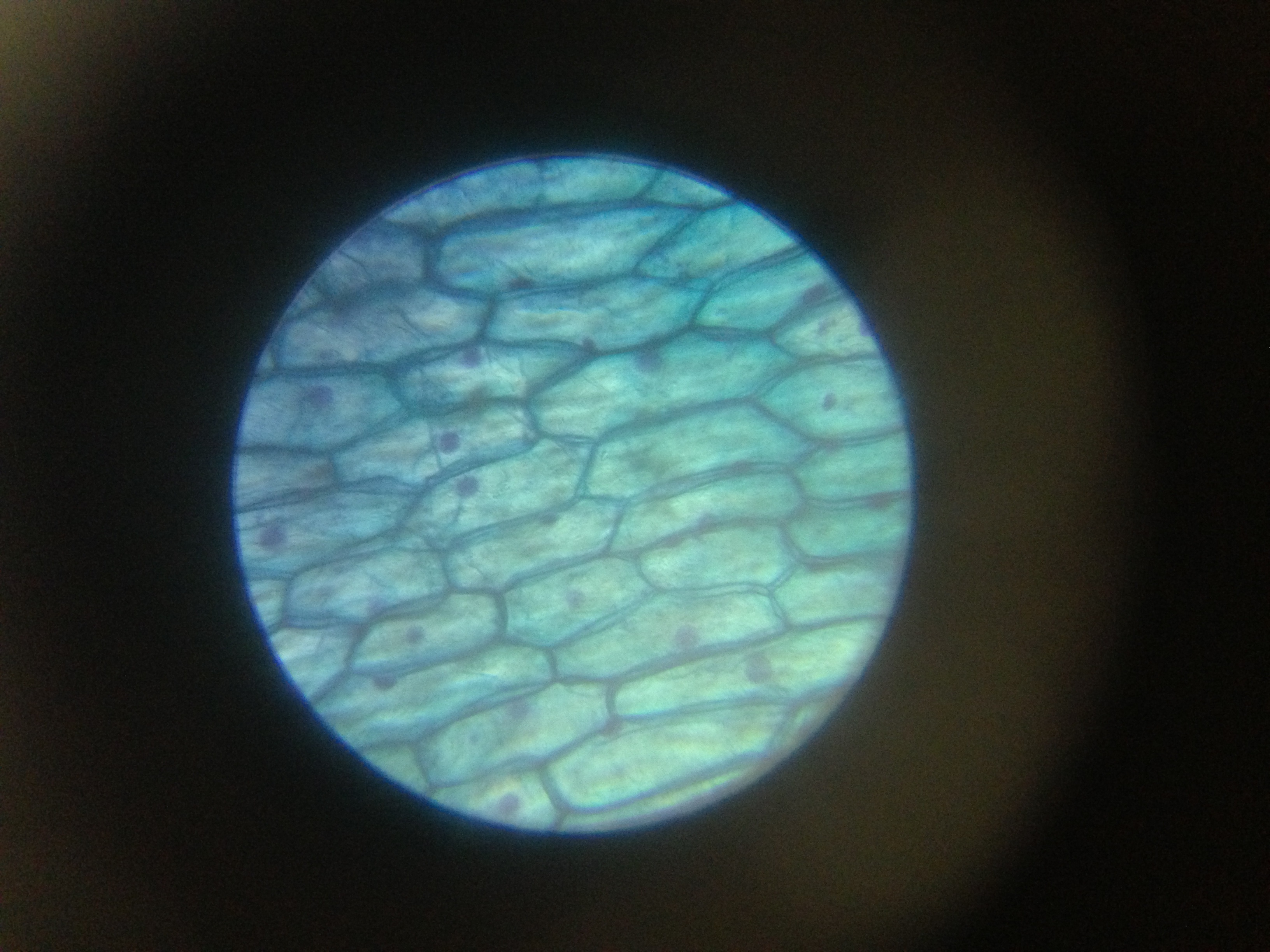 фото кожица лука под микроскопом