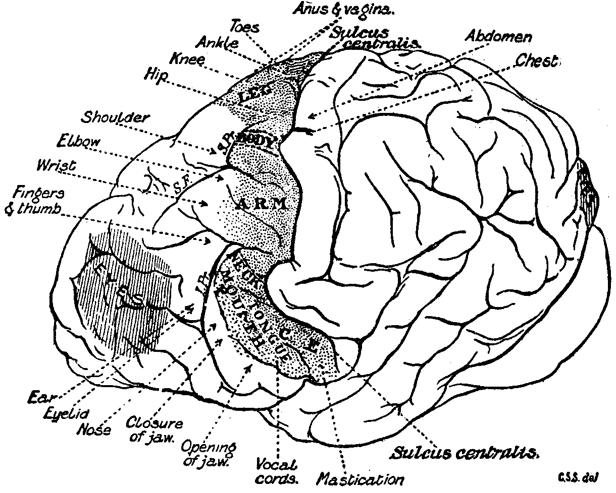 gorilla brain diagram