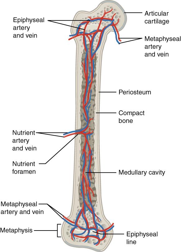 Veins Bone Diagram House Wiring Diagram Symbols