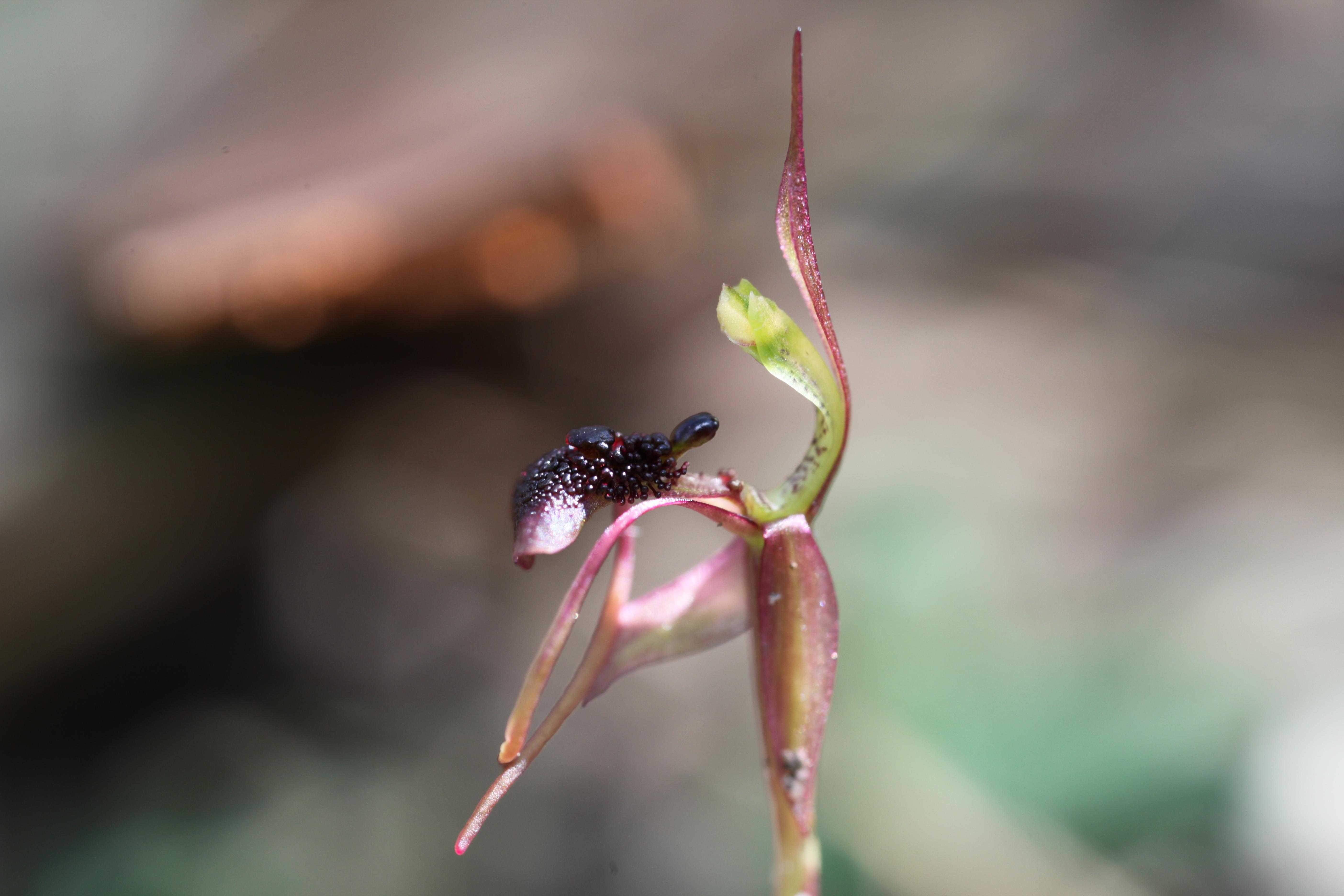 Chiloglottis formicifera - Wikipedia