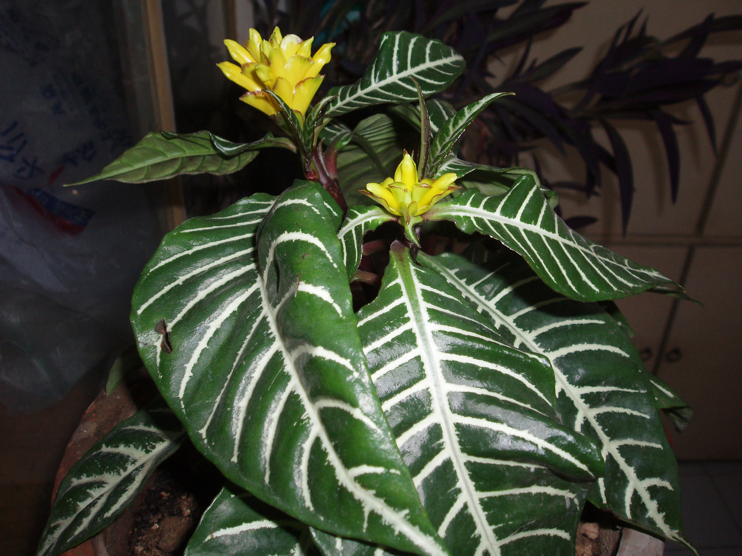 Aphelandra squarrosa - Wikipedia on