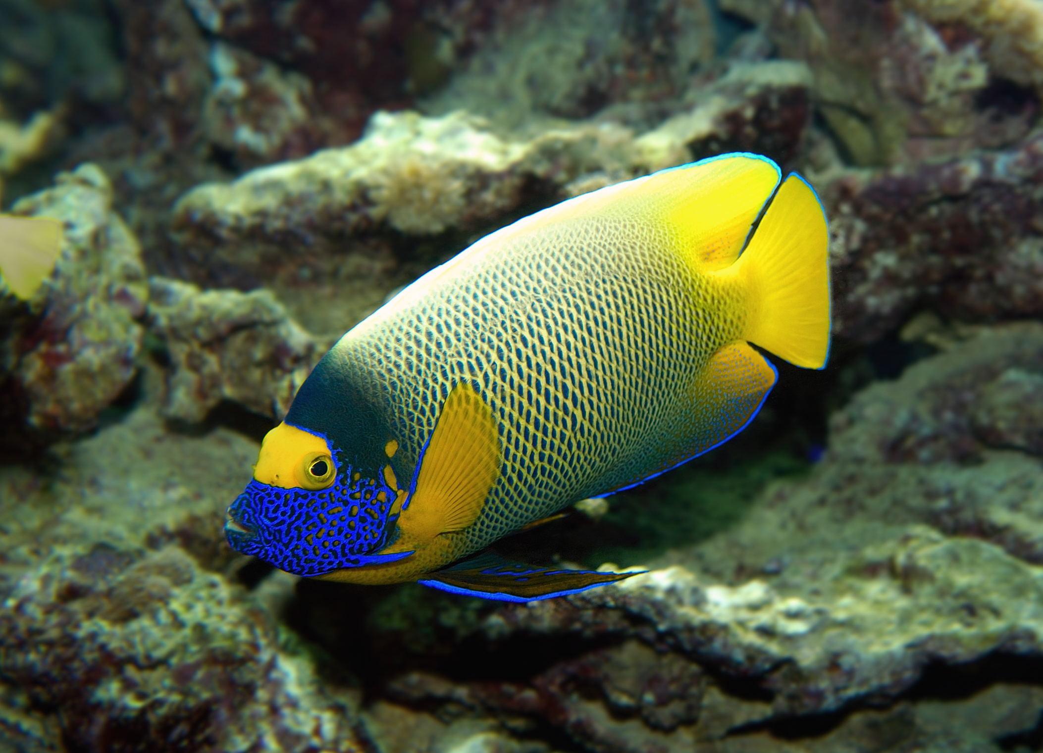 Blaukopf-Kaiserfisch (Pomacanthus xantometopon) 01.jpg