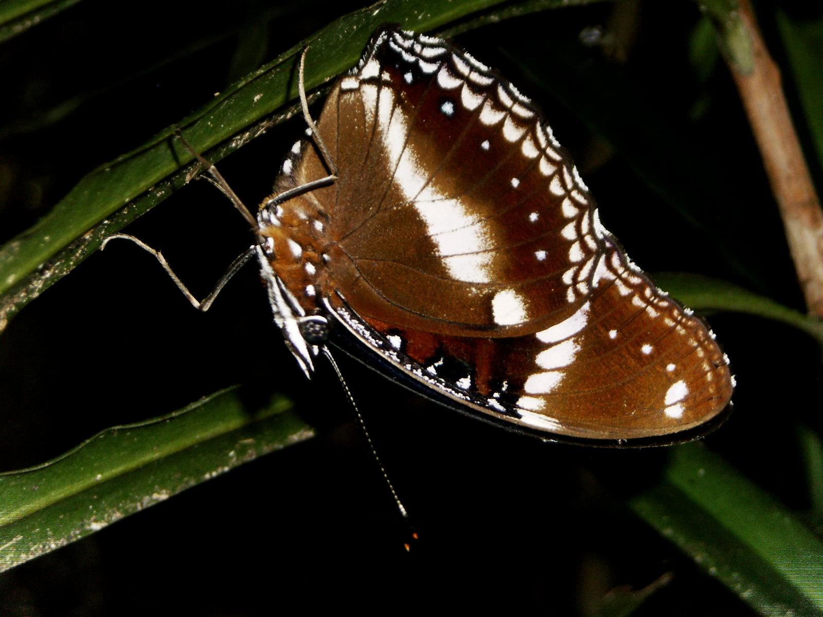 File:butterfly Daintree