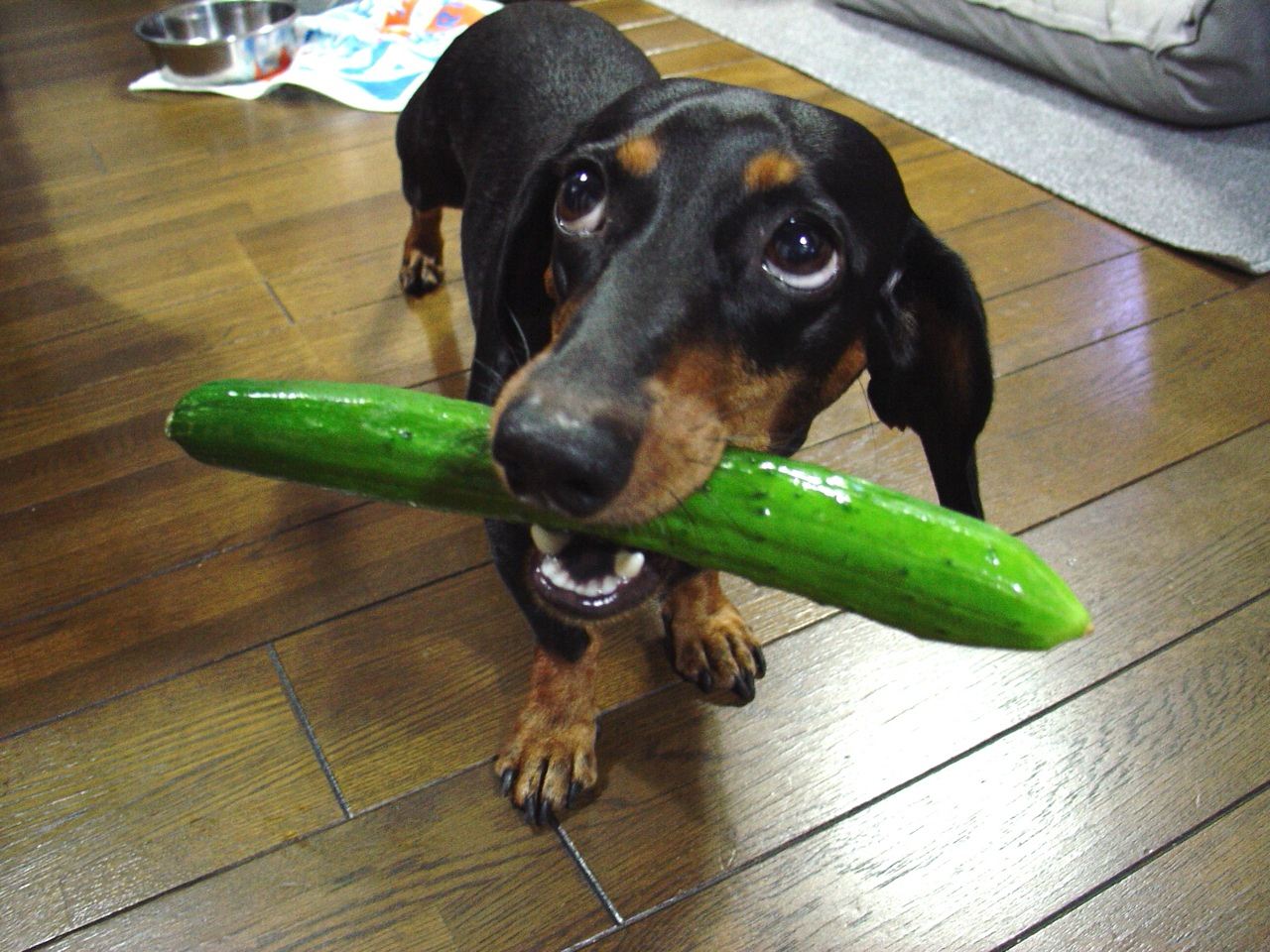 Black dachshund with cucumber