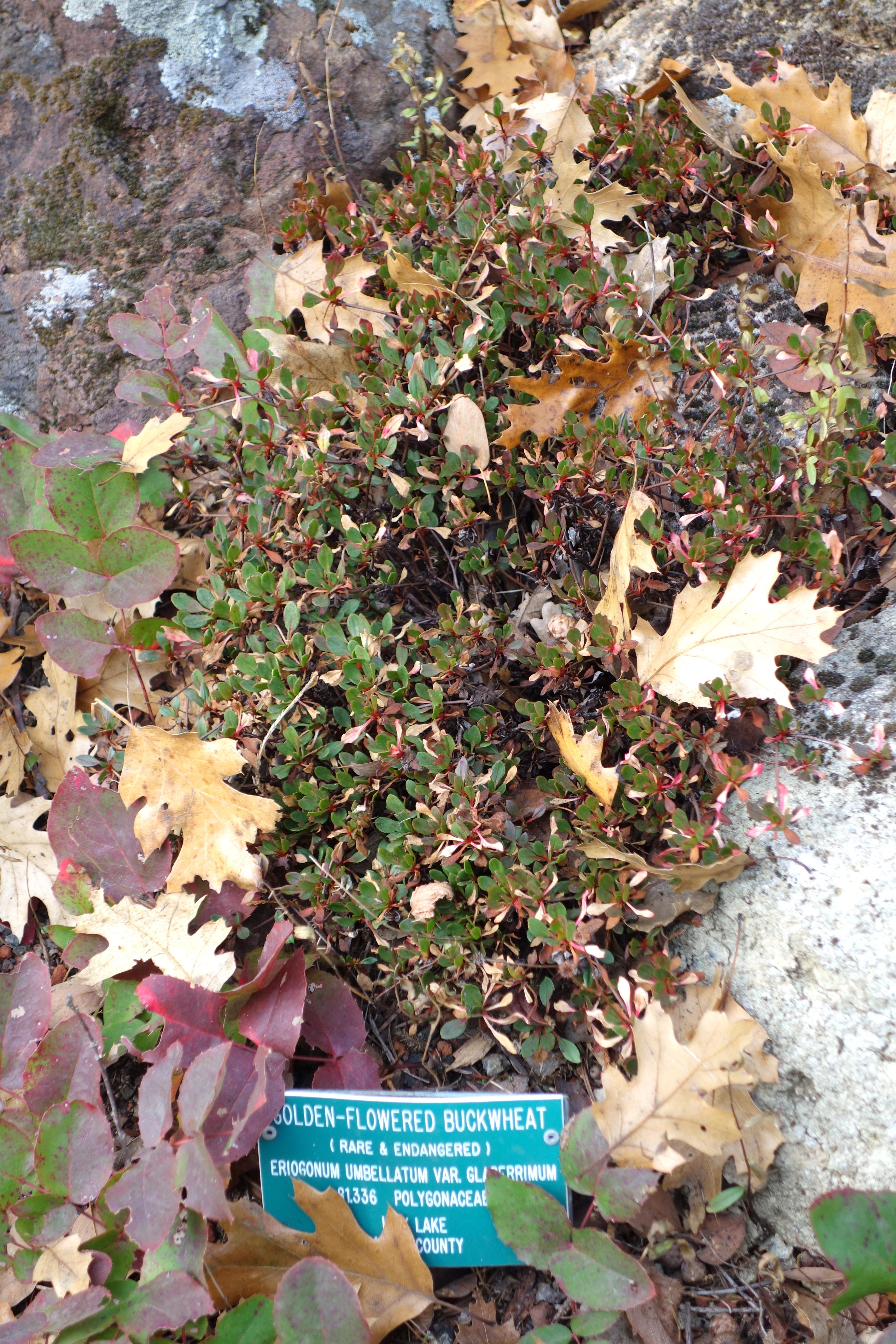 File:Eriogonum umbellatum var. glaberrimum - Regional Parks Botanic ...