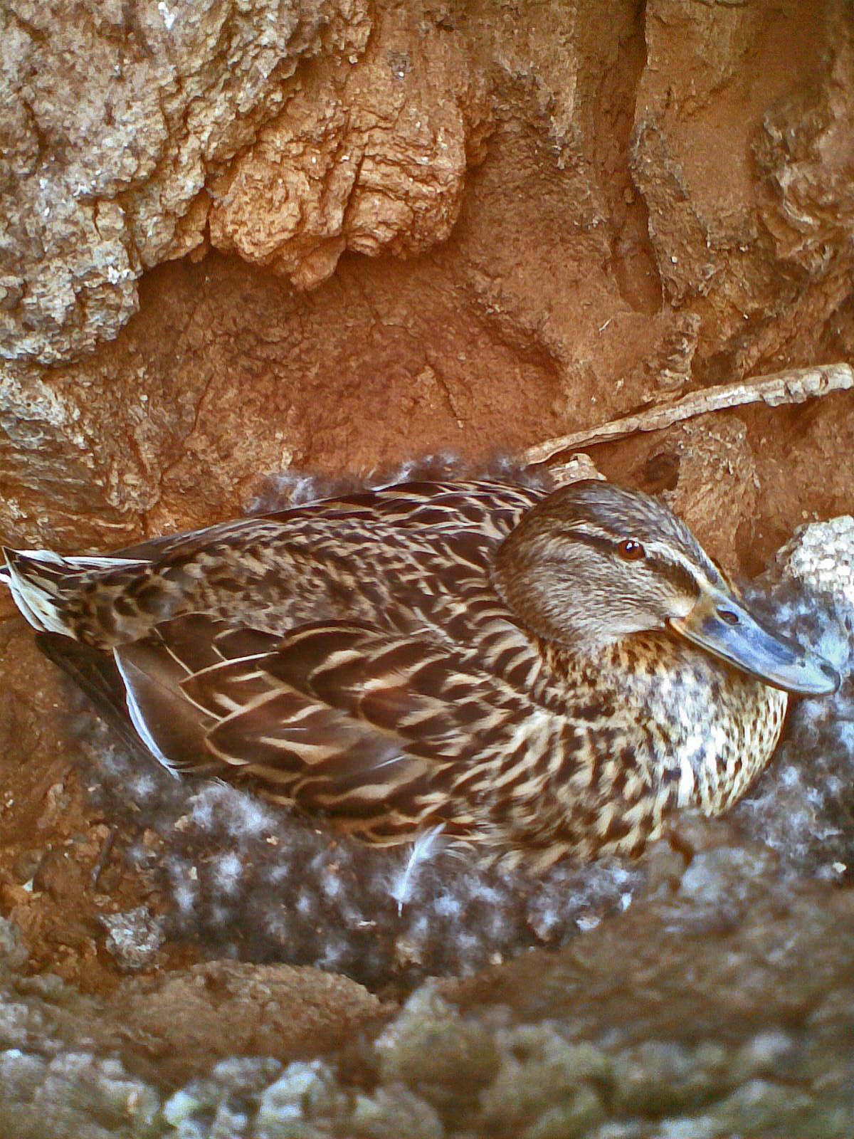 A female Rouen duck incubates her eggs