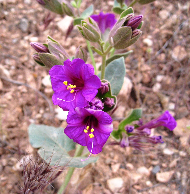 SEINet - Arizona Chapter - Mirabilis multiflora