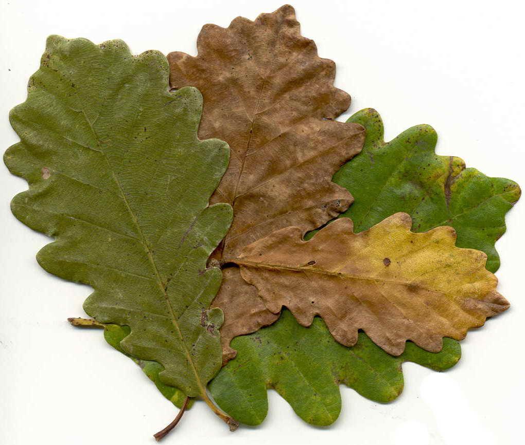 folla de carballo