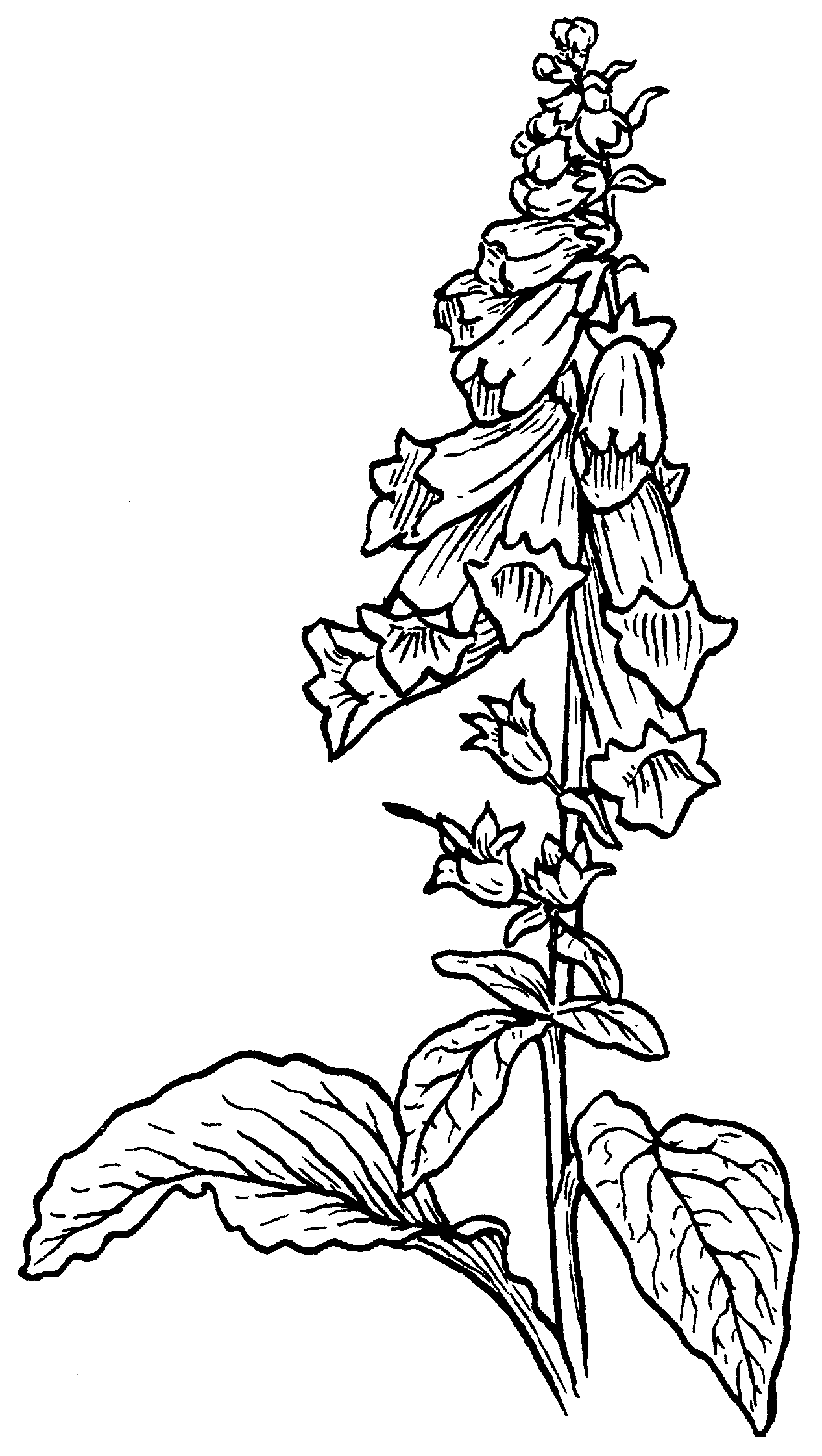 foxglove flower drawing sketch coloring page