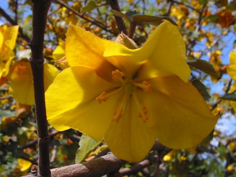 fleur jaune du fremontodendron