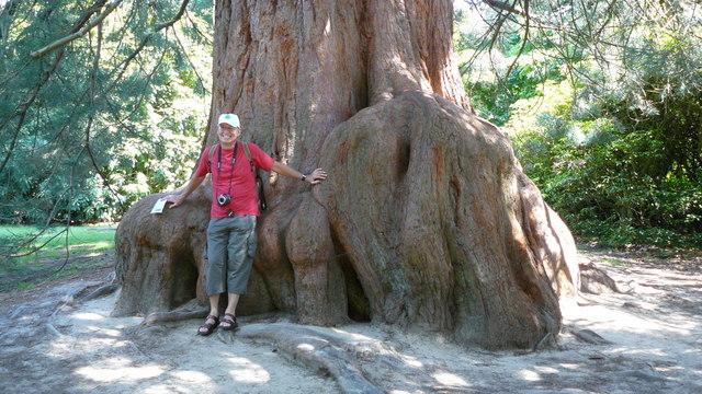 Giant Redwood, Sheffield Park - geograph.org.uk - 1191251