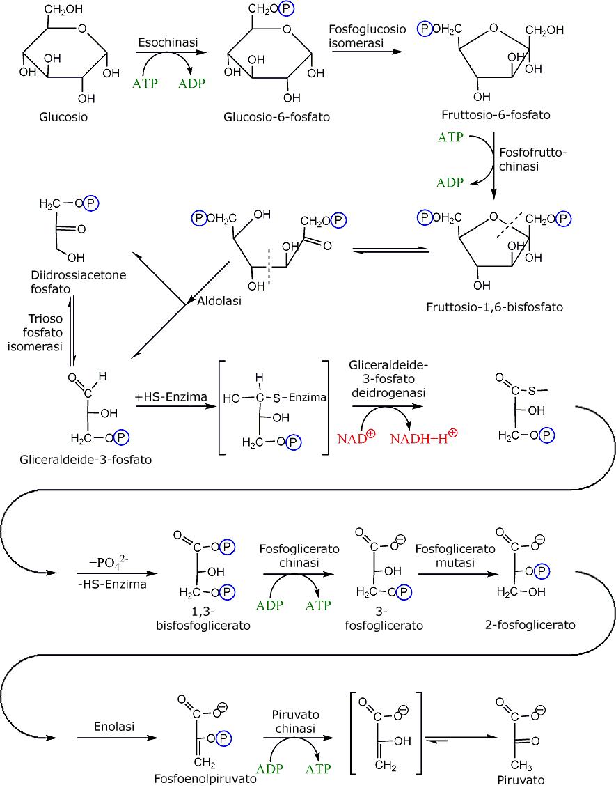 significato biologico glicolisi