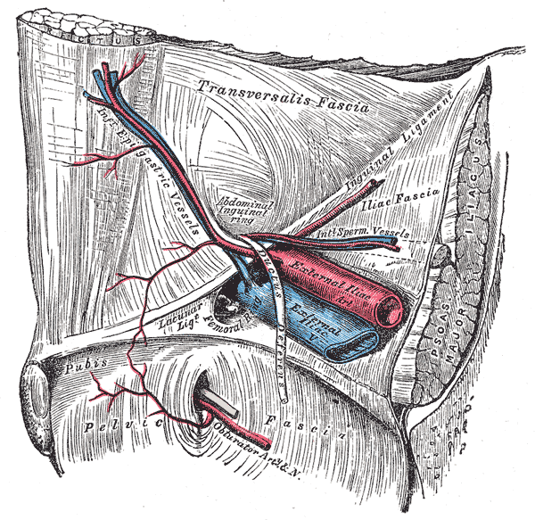 Inferior Epigastric Artery Wikipedia