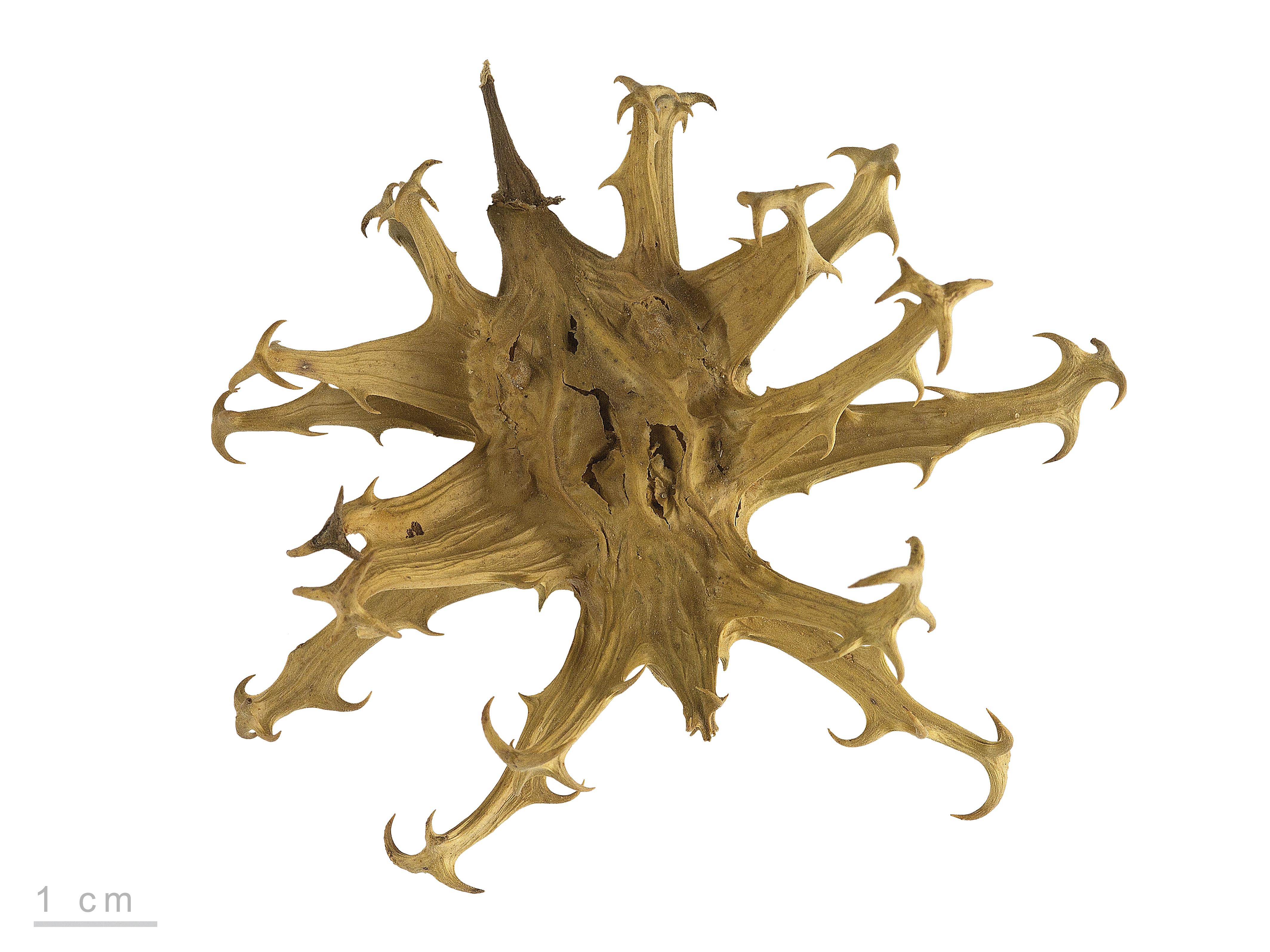 Fichier:Harpagophytum procumbens MHNT.BOT.2005.0.1243.jpg — Wikipédia