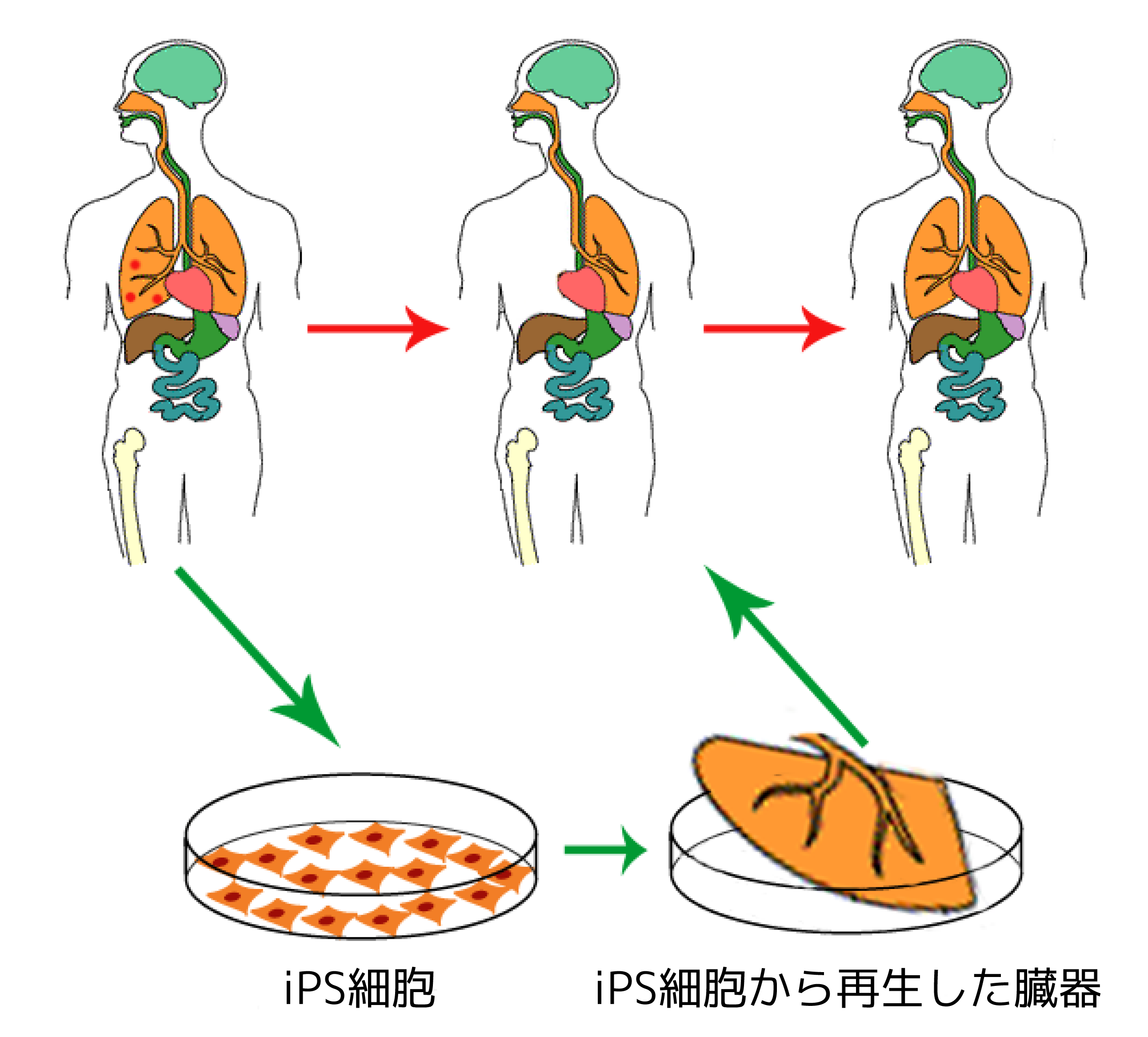 File Ips Cells Ja Png Wikimedia Commons