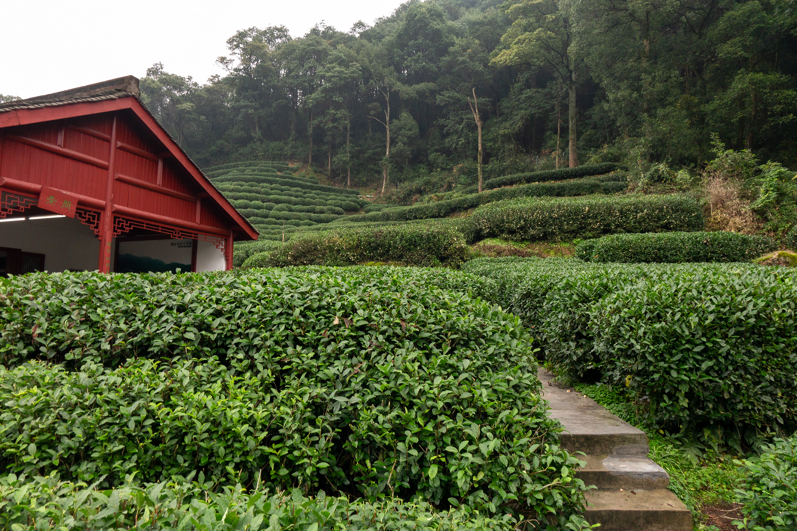 File Longjing Tea Field Dragon Well Area Meijiawu China