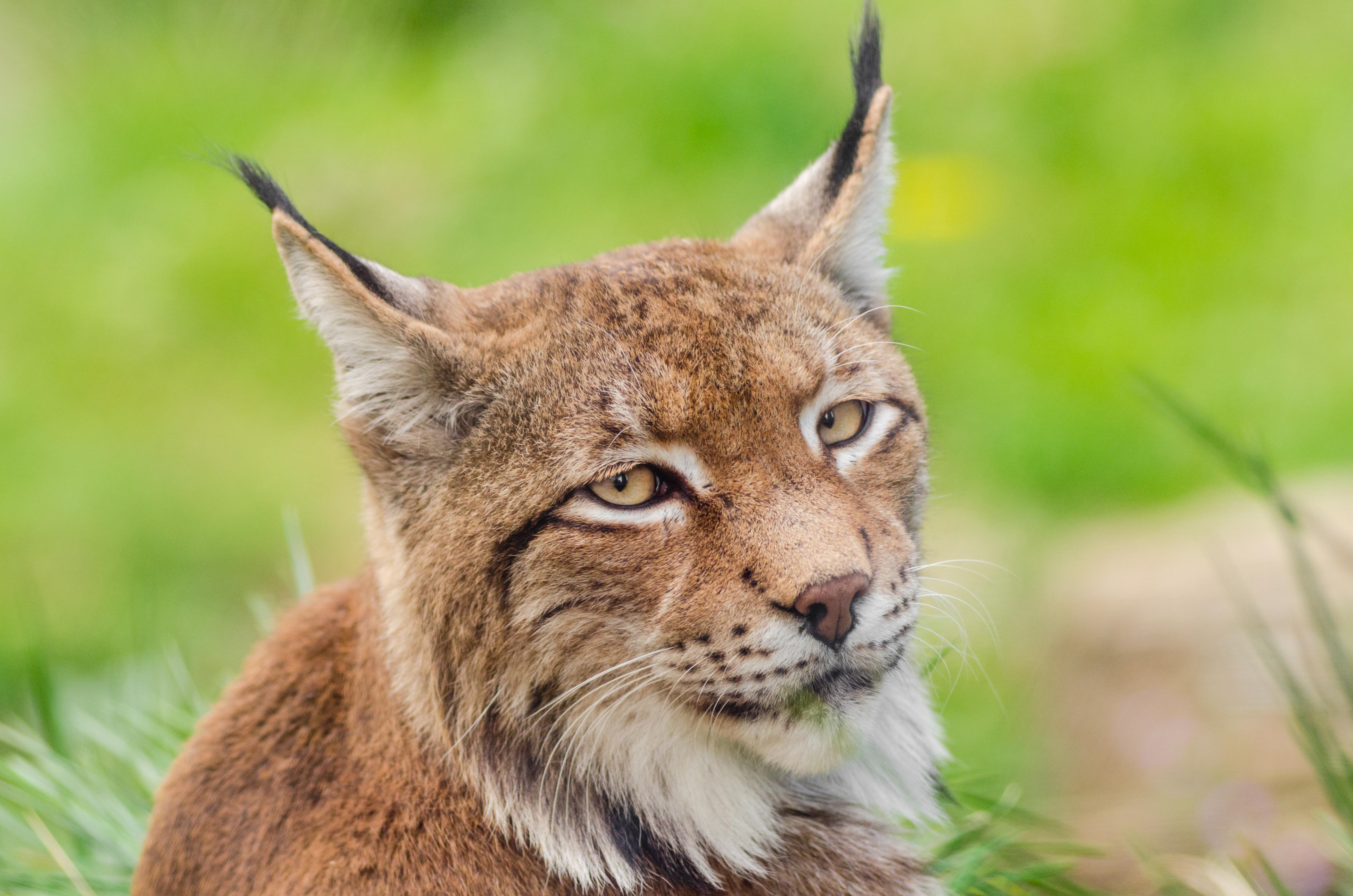 Lynx (16132000168).jpg