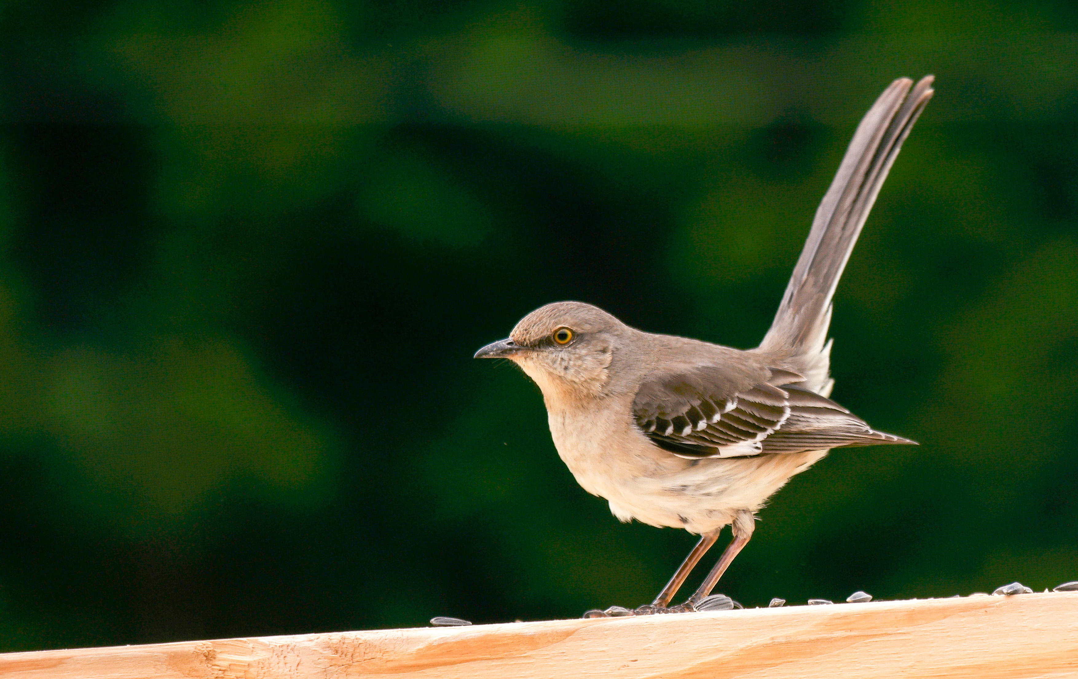 Male_Northern_Mockingbird.jpg (3508×2210)