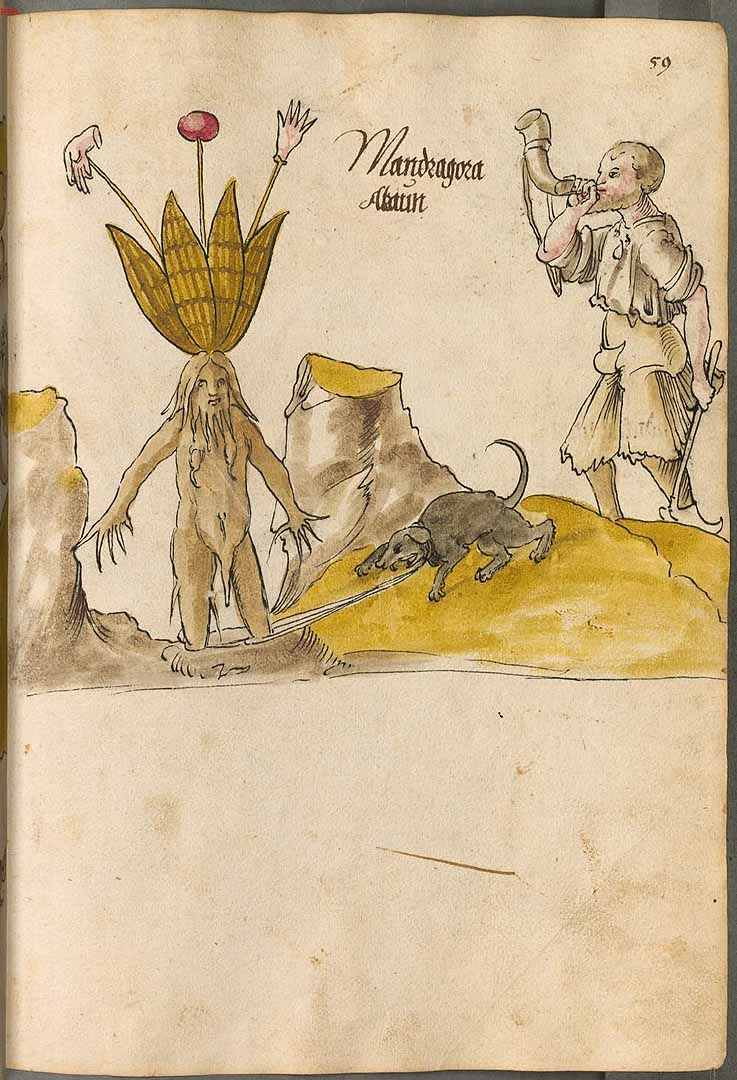 Mandragora officinarum Arzneipflanzenbuch.jpg