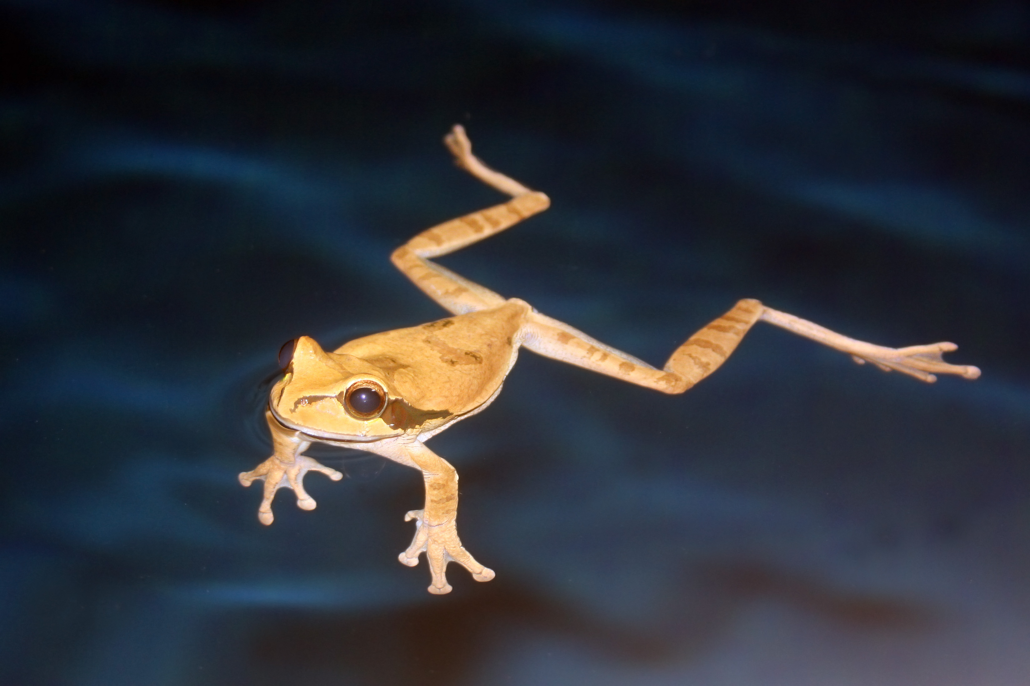 File Masked Tree Frog Swimming Jpg Wikimedia Commons