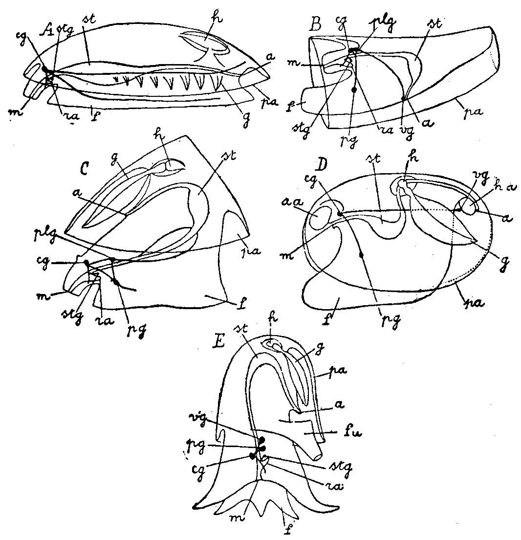 File Mollusca Diagram 5 Classes Jpg
