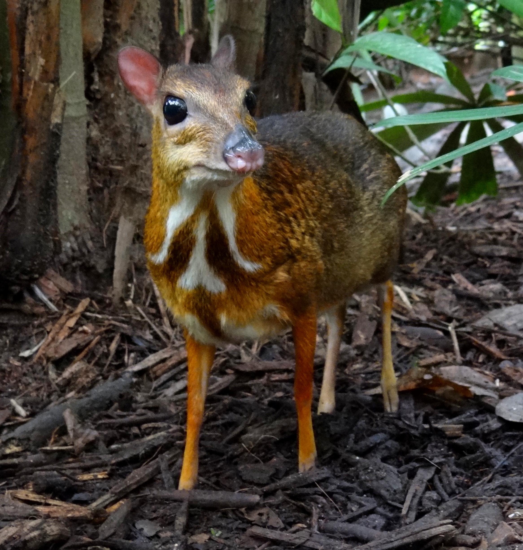 ... mouse deer dbpedia moschiola dbpedia philippine mouse deer dbpedia