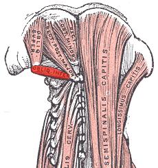 File:Obliquus capitis inferior.png - Wikimedia Commons Obliquus Capitis Inferior