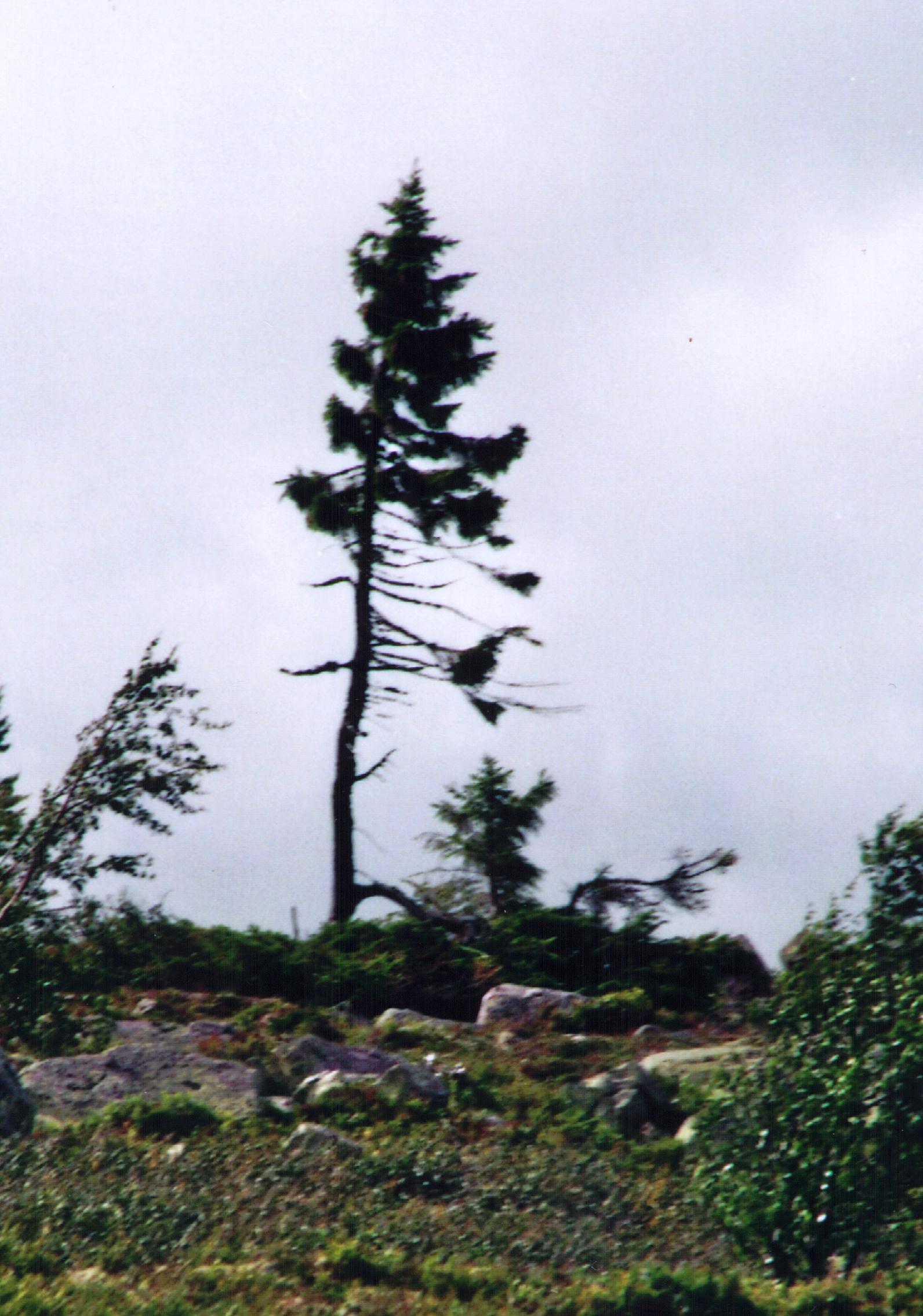 världens äldsta träd