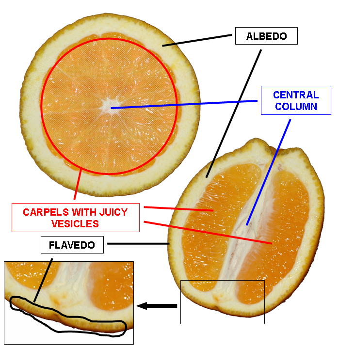 Orange_cross_section_description