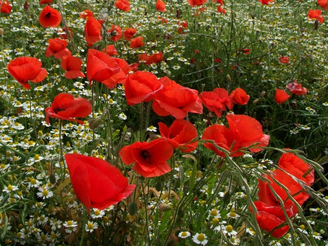 File:Poppies, High Barn - geograph.org.uk - 871579.jpg