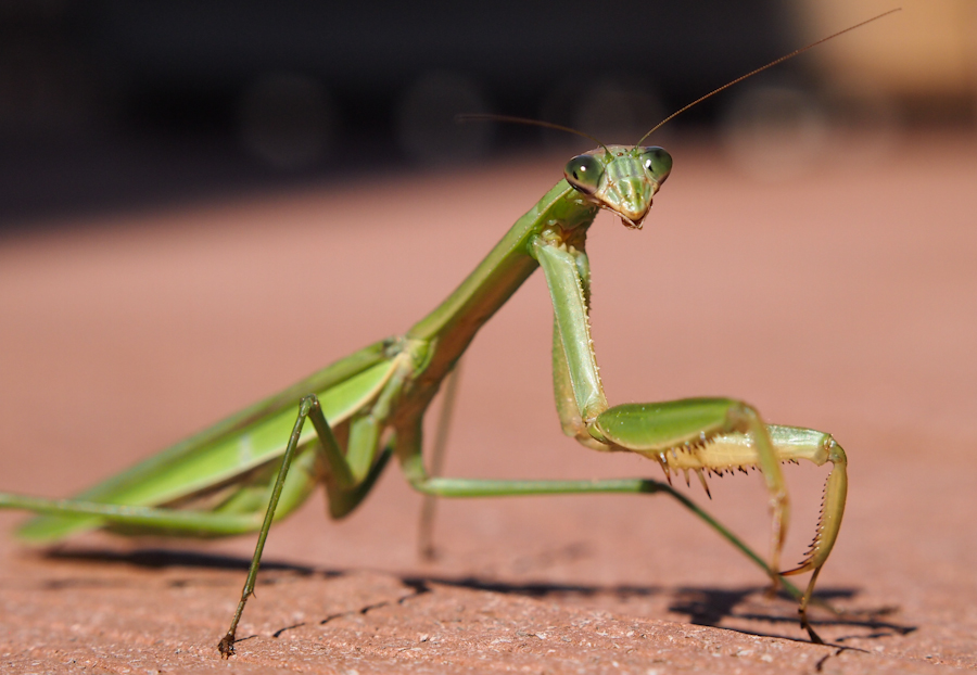 praying mantis, image, wikimedia