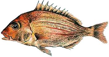 Panga (ryba) Wikipedia, wolna encyklopediapanga ryba