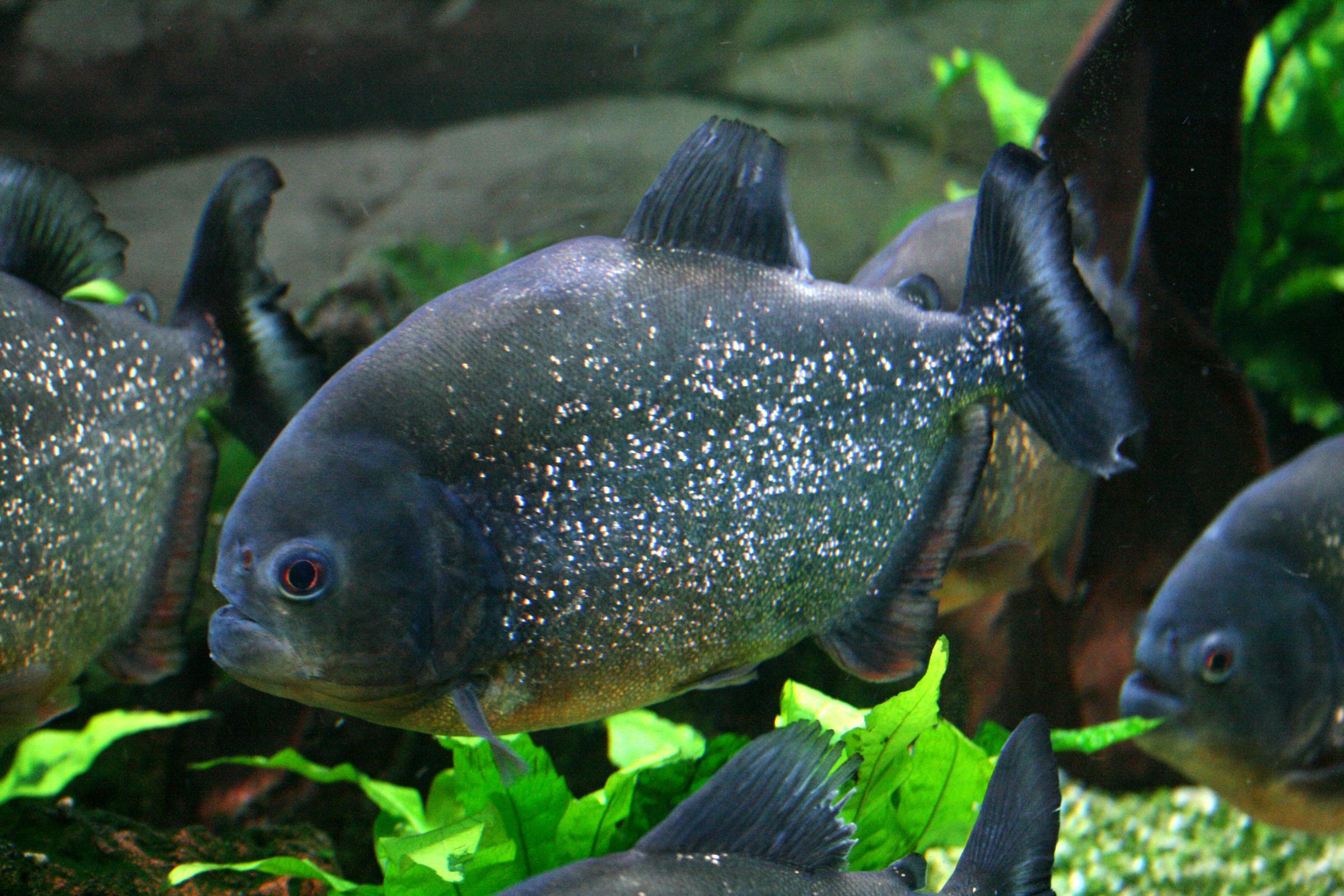 File pygocentrus nattereri wikimedia commons for Piranha fish tank