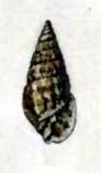 <i>Milda garretti</i> species of mollusc
