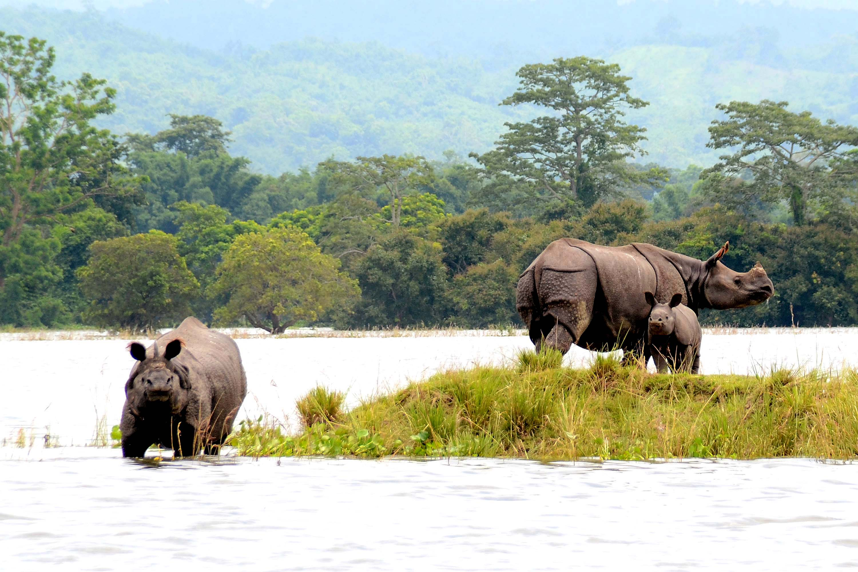 One Horned Rhinos at Kaziranga National Park