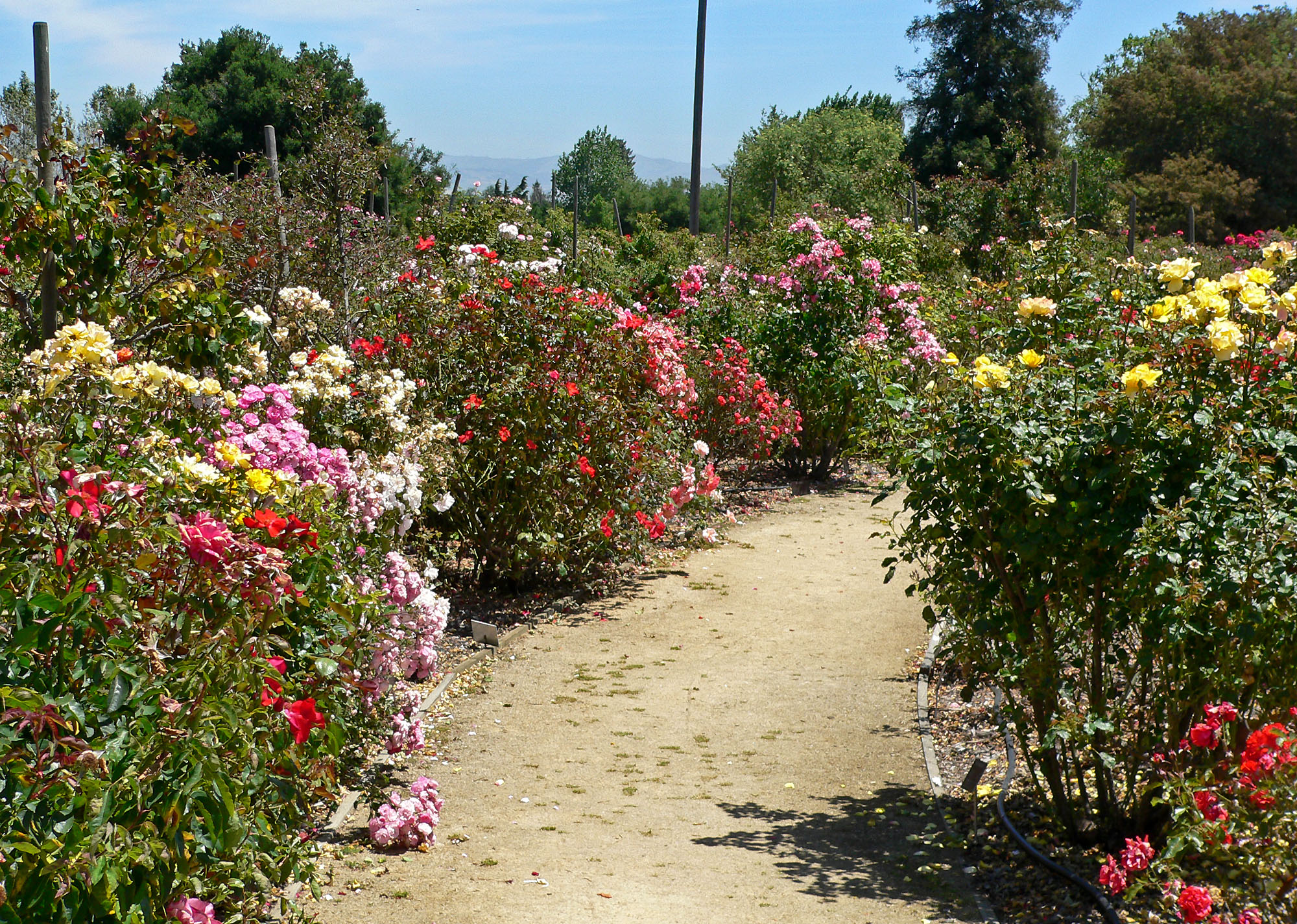 Passionate Progressive Patriot A Tale Of Two Municipal Rose Gardens In One City