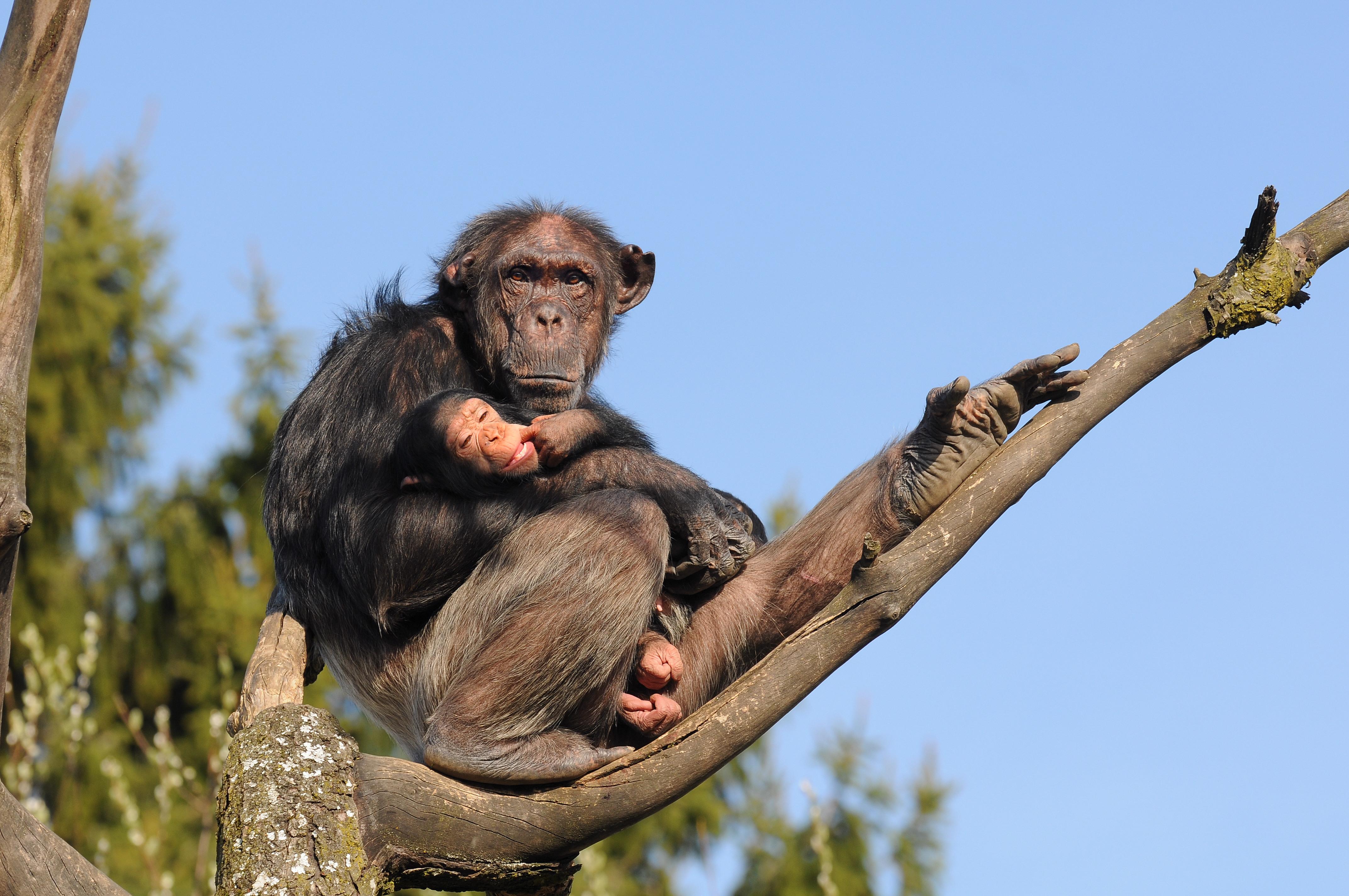 File:Schimpanse, Pan troglodytes 3 JPG - Wikimedia Commons